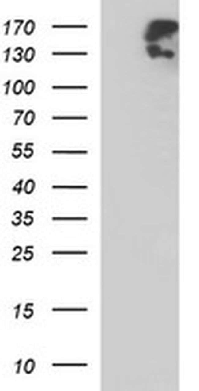 PTPRC Mouse anti-Human, Clone: OTI2F1, liquid, TrueMAB  100 µL; Unconjugated