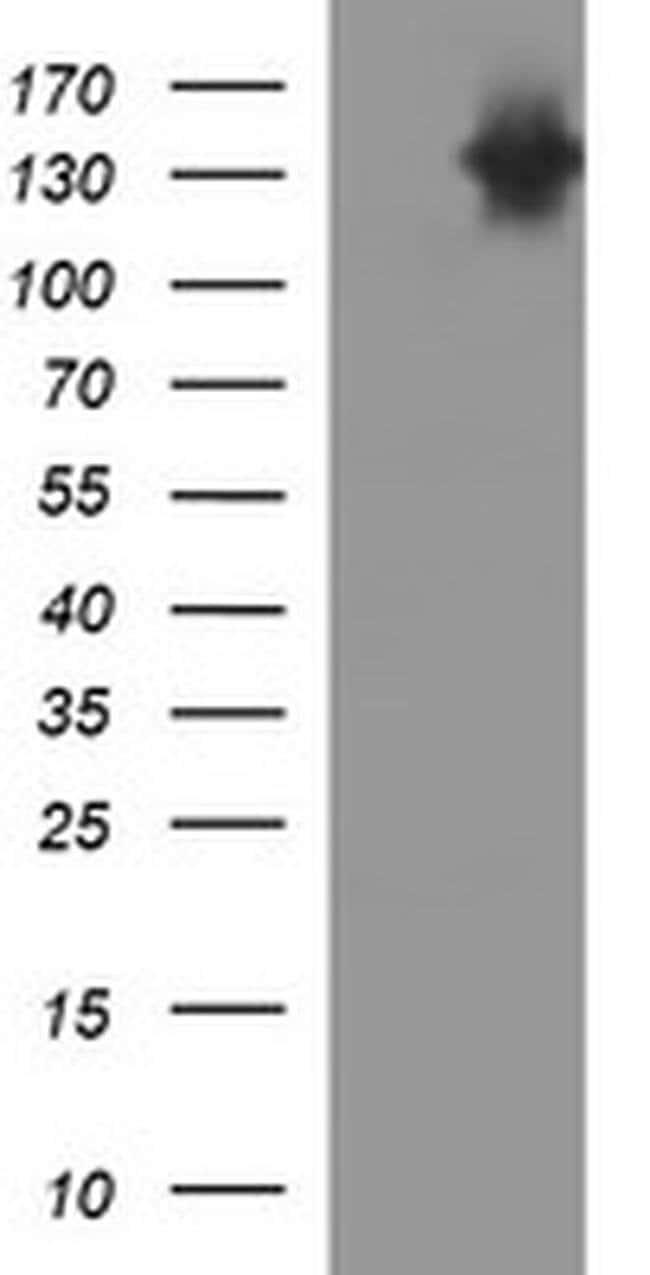 PTPRC Mouse anti-Human, Clone: OTI3F2, liquid, TrueMAB  100 µL; Unconjugated