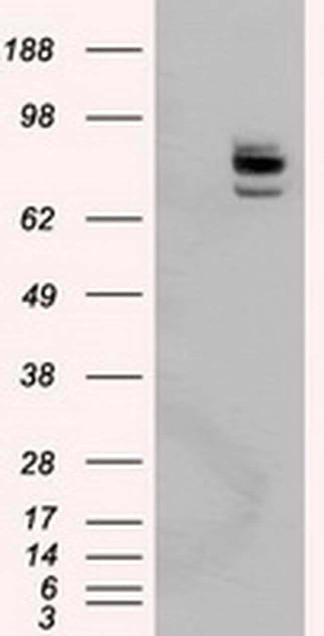 PTPRE Mouse anti-Human, Clone: OTI5F2, liquid, TrueMAB  100 µL; Unconjugated