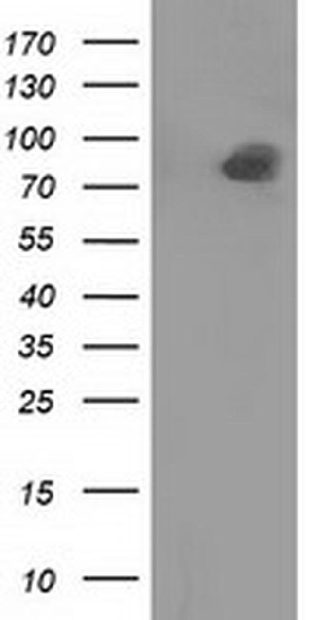 PTPRE Mouse anti-Human, Clone: OTI3B8, liquid, TrueMAB  100 µL; Unconjugated