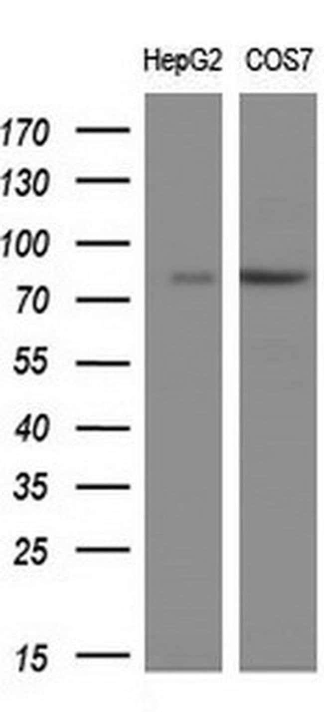 PTPRE Mouse anti-Human, Clone: OTI4B2, liquid, TrueMAB  100 µL; Unconjugated