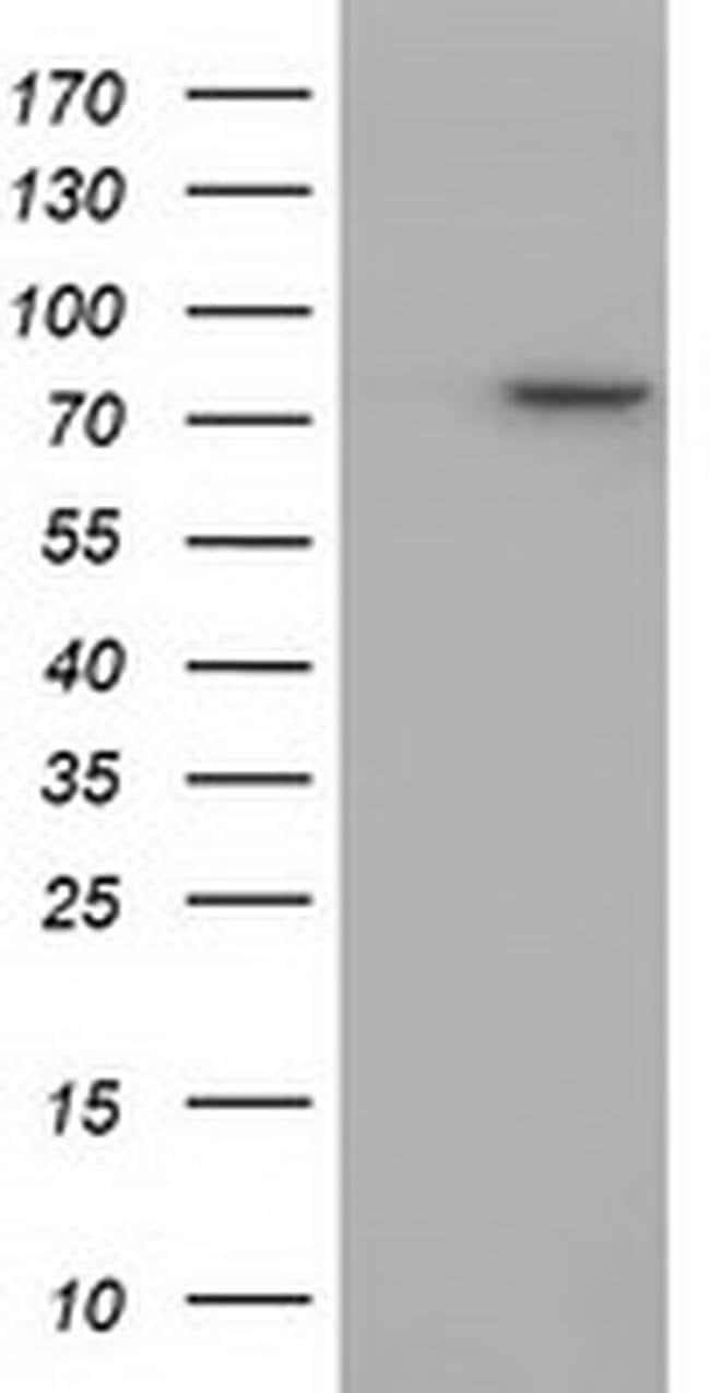 PTPRE Mouse anti-Human, Clone: OTI4G2, liquid, TrueMAB  100 µL; Unconjugated