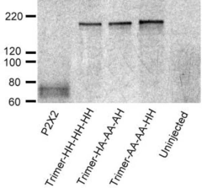 P2X2 Rabbit anti-Human, Non-human Primate, Rat, Polyclonal, Neuromics:Antibodies:Primary