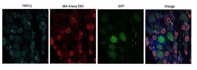 VR1 N-Terminus (TRPV1) Rabbit anti-Rat, Polyclonal, Neuromics:Antibodies:Primary