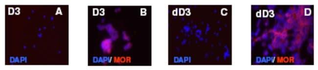 MOR-1C Rabbit anti-Mouse, Rat, Polyclonal, Neuromics:Antibodies:Primary