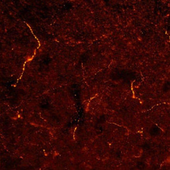 FMRFamide Rabbit anti-Rat, Polyclonal, Neuromics:Antibodies:Primary Antibodies