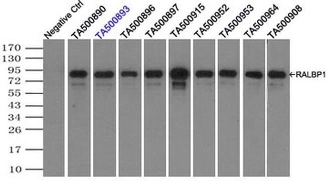 RALBP1 Mouse anti-Canine, Human, Rat, Clone: OTI11B2, liquid, TrueMAB