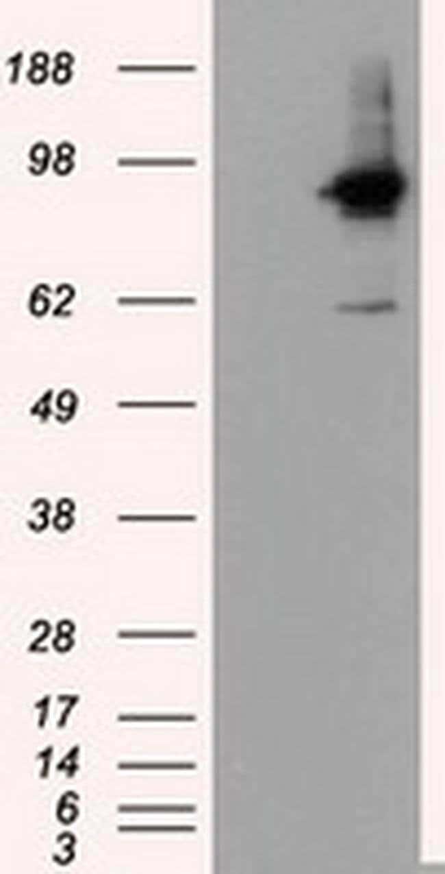 RALBP1 Mouse anti-Human, Clone: OTI1H9, liquid, TrueMAB  100 µL; Unconjugated