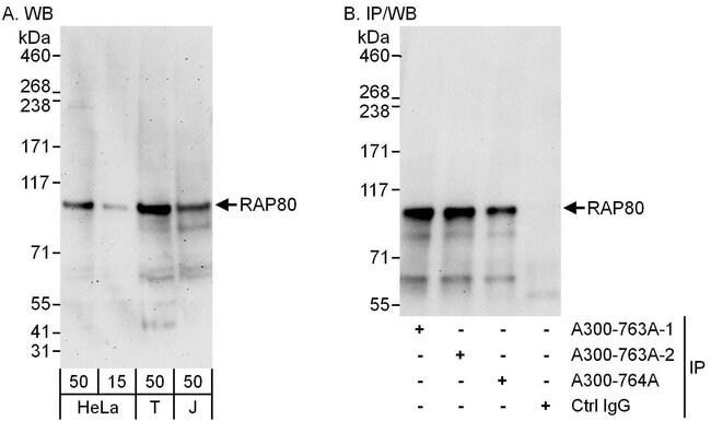 RAP80 Rabbit anti-Human, Polyclonal, Bethyl Laboratories 100 μL; Unconjugated:Antibodies