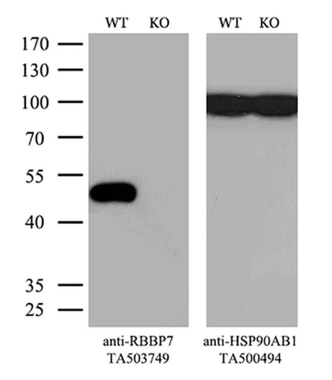 RBBP7 Mouse anti-Human, Clone: OTI4C9, liquid, TrueMAB  100 µL; Unconjugated
