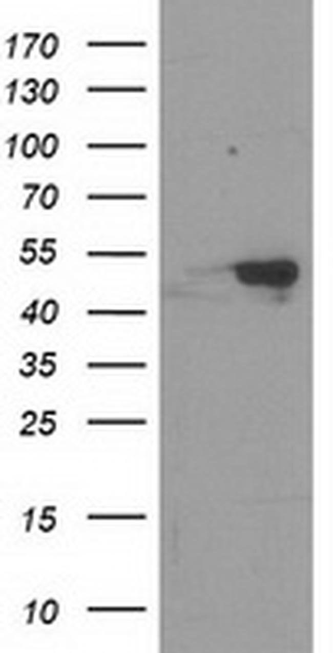 RBBP7 Mouse anti-Human, Clone: OTI3A12, liquid, TrueMAB  100 µL; Unconjugated