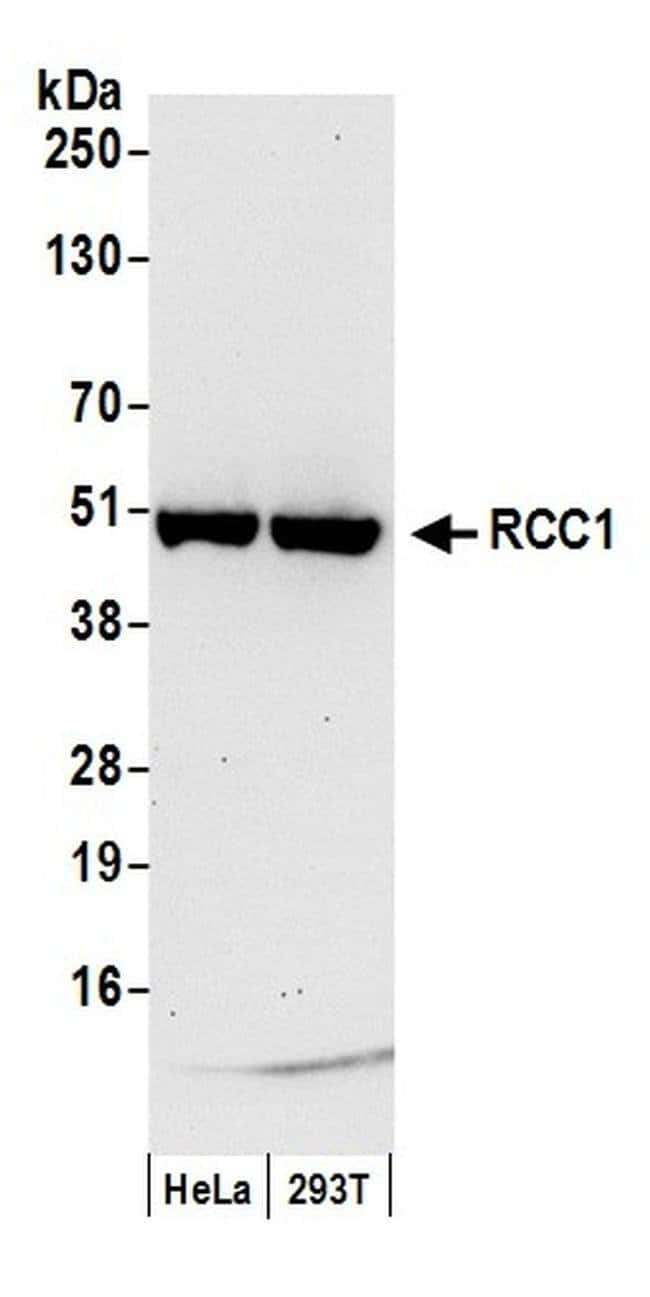 RCC1, Polyclonal, Bethyl Laboratories  20 µL; Unconjugated