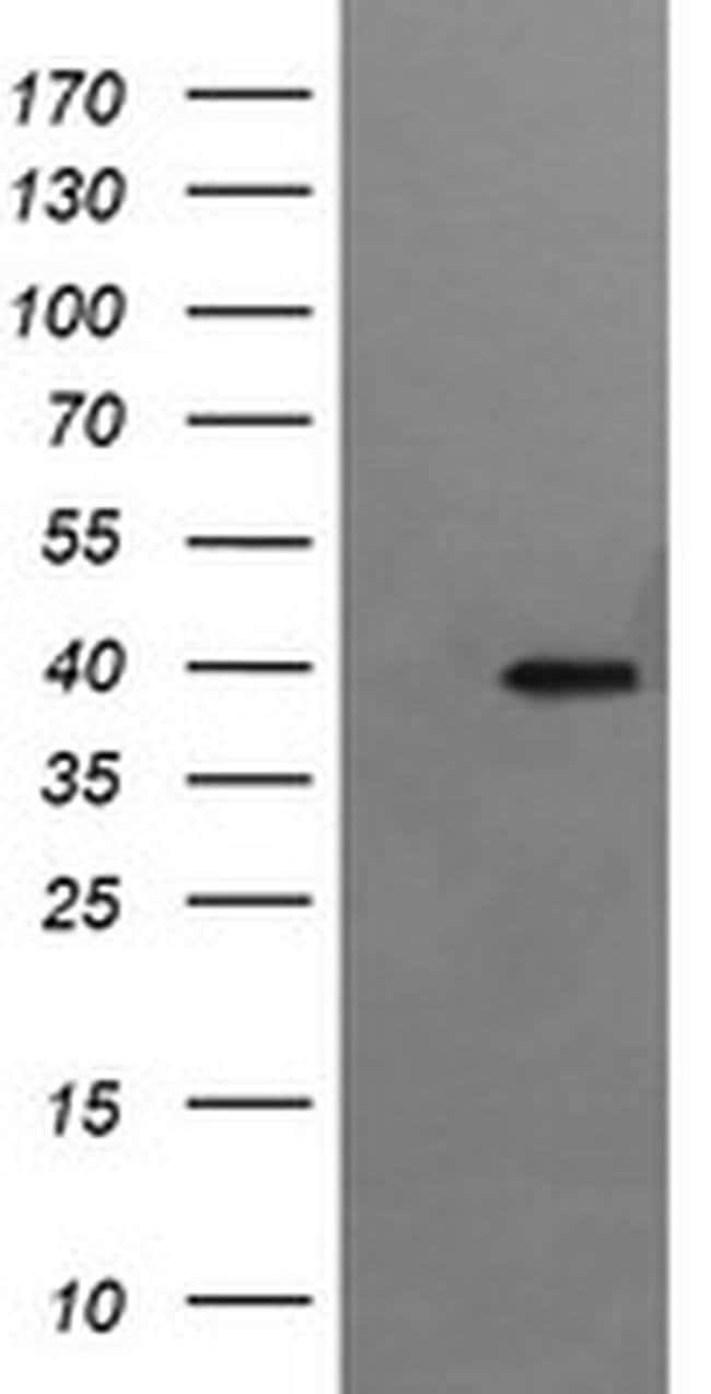 RFC4 Mouse anti-Canine, Human, Mouse, Rat, Clone: OTI1A8, liquid, TrueMAB