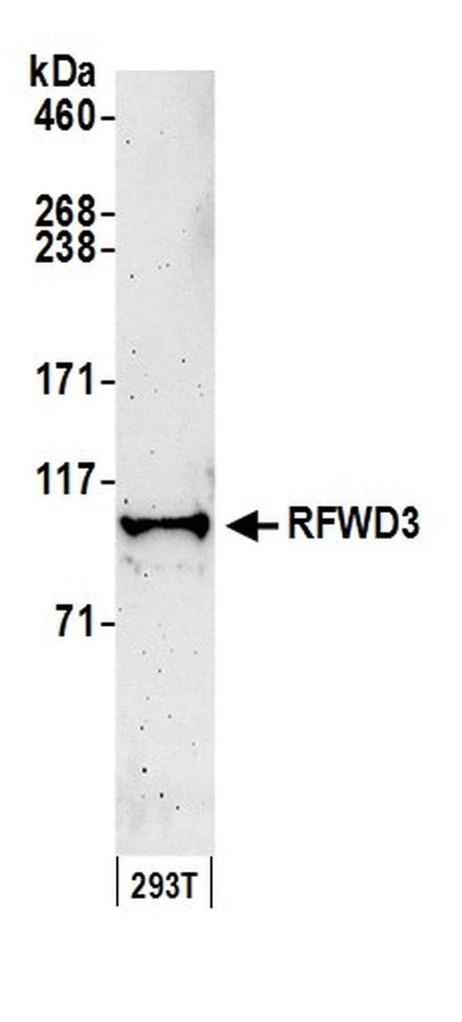 RFWD3, Polyclonal, Bethyl Laboratories  100 µL; Unconjugated