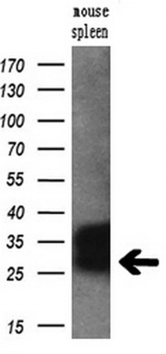 RGS16 Mouse anti-Human, Mouse, Clone: OTI4E5, liquid, TrueMAB  30 µL;