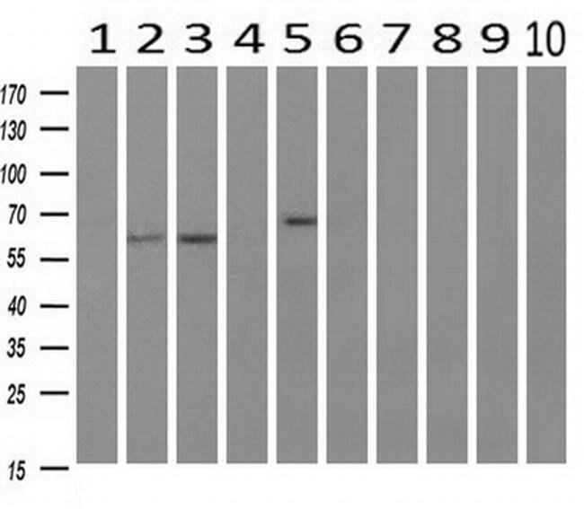 RIC8A Mouse anti-Human, Clone: OTI3G3, liquid, TrueMAB  100 µL; Unconjugated