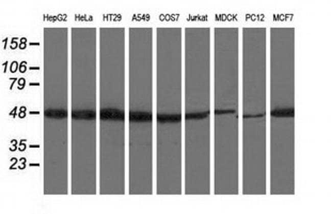 RNH1 Mouse anti-Canine, Human, Rat, Clone: OTI3F11, liquid, TrueMAB  100