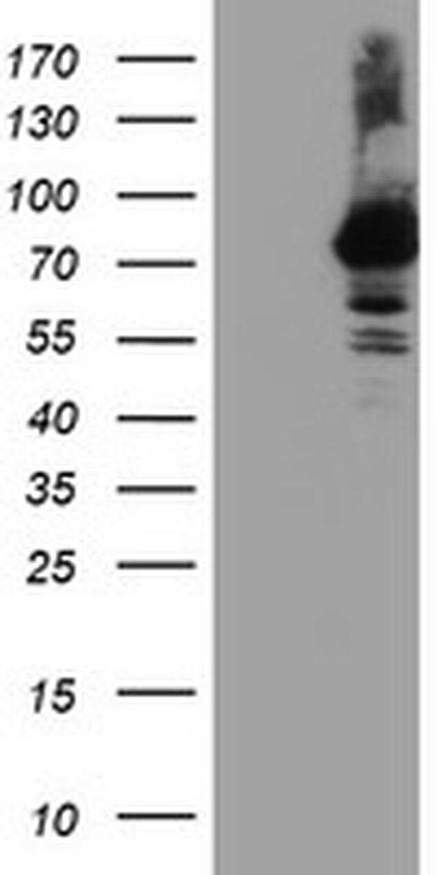 RNPEP Mouse anti-Human, Clone: OTI3B5, liquid, TrueMAB  100 µL; Unconjugated