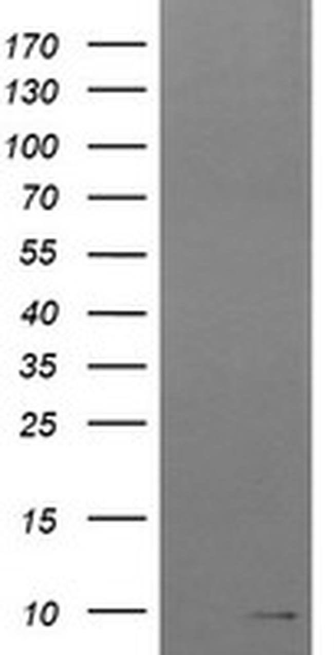 ROMO1 Mouse anti-Human, Clone: OTI1C7, liquid, TrueMAB  100 µL; Unconjugated