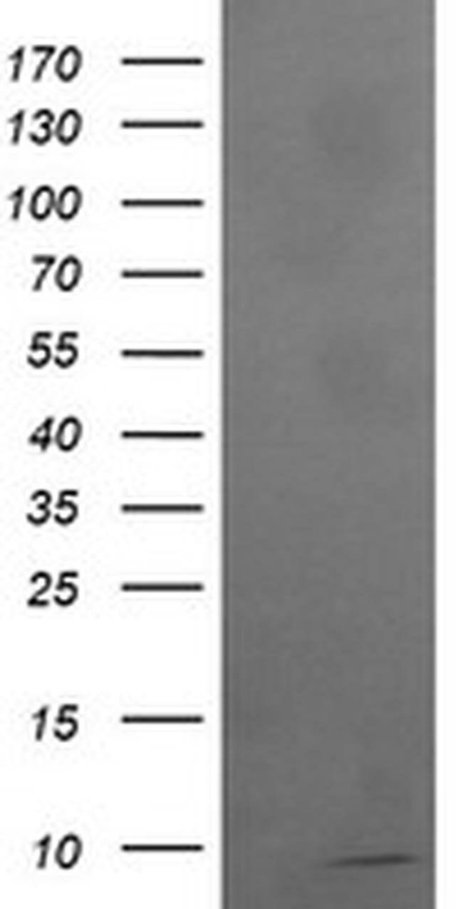 ROMO1 Mouse anti-Human, Clone: OTI1G4, liquid, TrueMAB  100 µL; Unconjugated