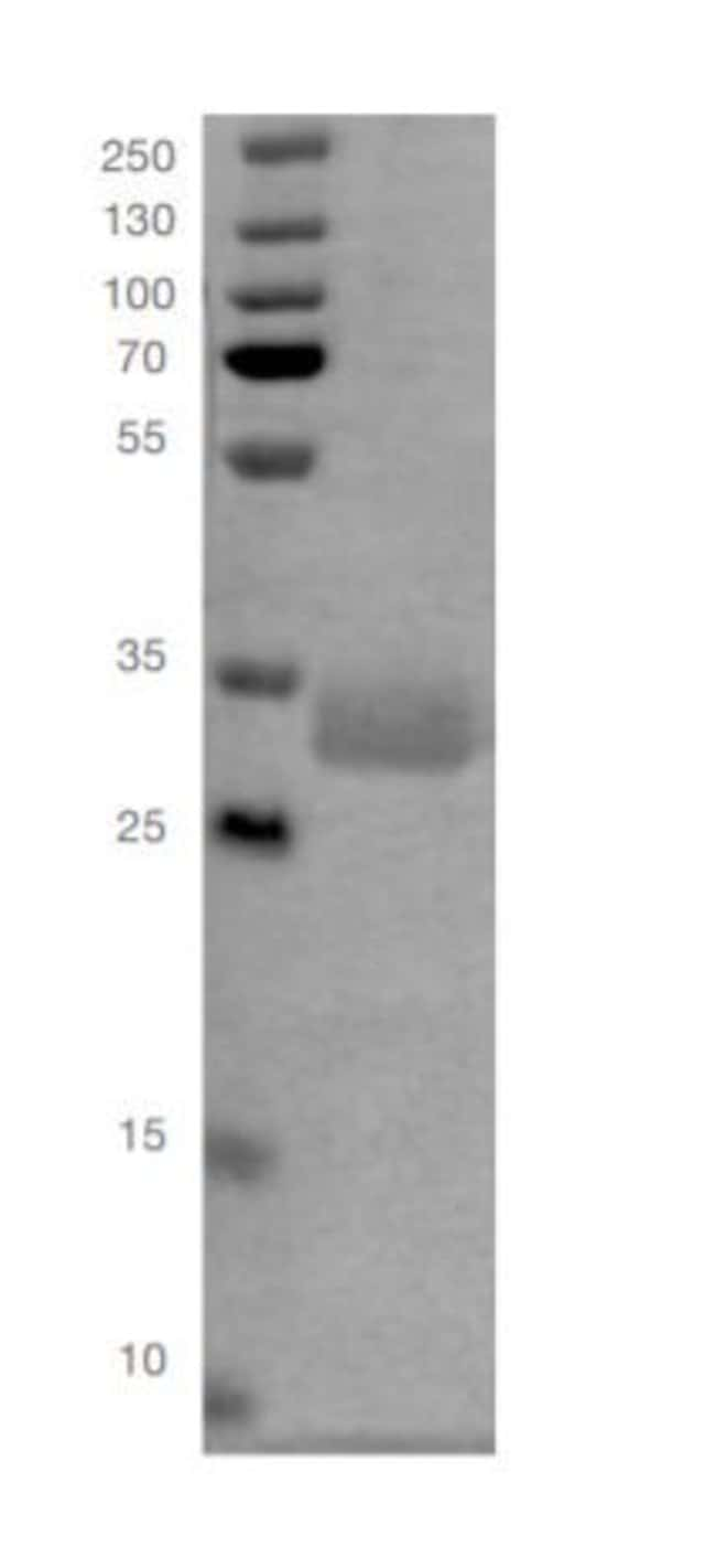 Human CD19 His-tag, Recombinant Protein, Invitrogen:Biochemical Reagents:Proteins