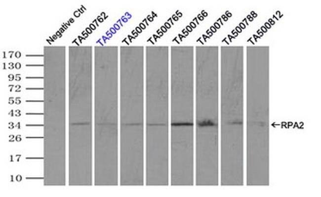 RPA2 Mouse anti-Human, Clone: OTI9A1, liquid, TrueMAB  100 µL; Unconjugated