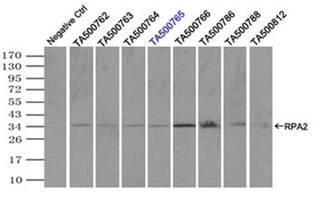 RPA2 Mouse anti-Canine, Human, Rat, Clone: OTI1H10, liquid, TrueMAB  100