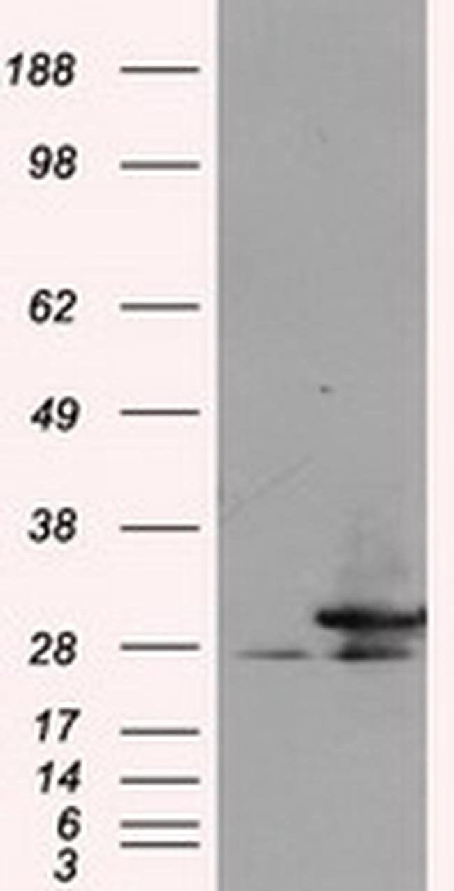 RPA2 Mouse anti-Human, Clone: OTI4C3, liquid, TrueMAB  100 µL; Unconjugated