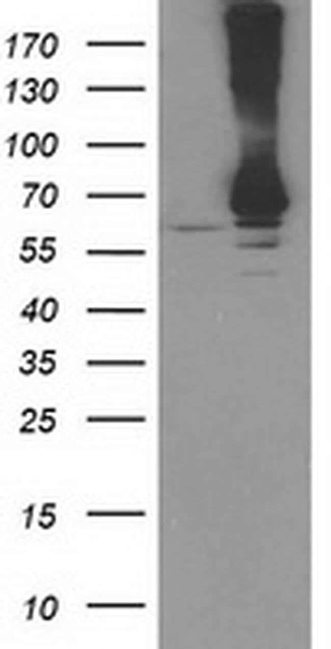 RPN1 Mouse anti-Canine, Human, Clone: OTI2G1, liquid, TrueMAB  100 µL;