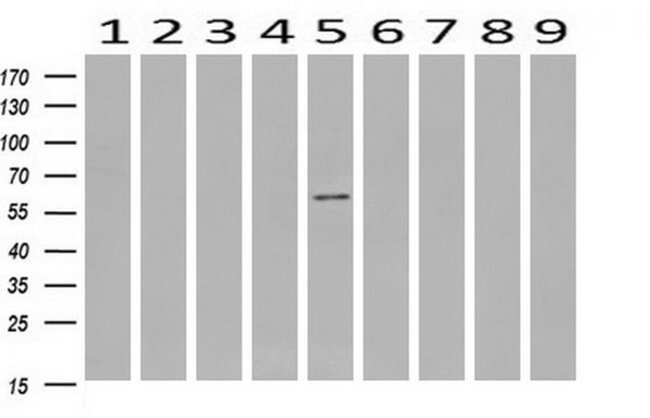 RPS6KB1 Mouse anti-Canine, Human, Mouse, Clone: OTI6B2, liquid, TrueMAB