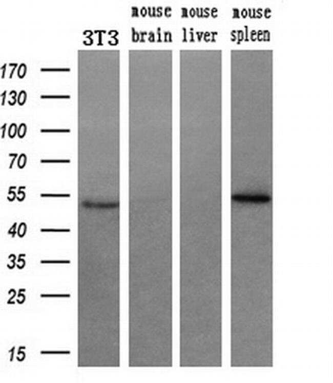 RUVBL2 Mouse anti-Canine, Human, Mouse, Rat, Clone: OTI1A6, liquid, TrueMAB