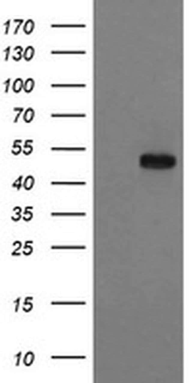 RUVBL2 Mouse anti-Canine, Human, Mouse, Rat, Clone: OTI2B9, liquid, TrueMAB