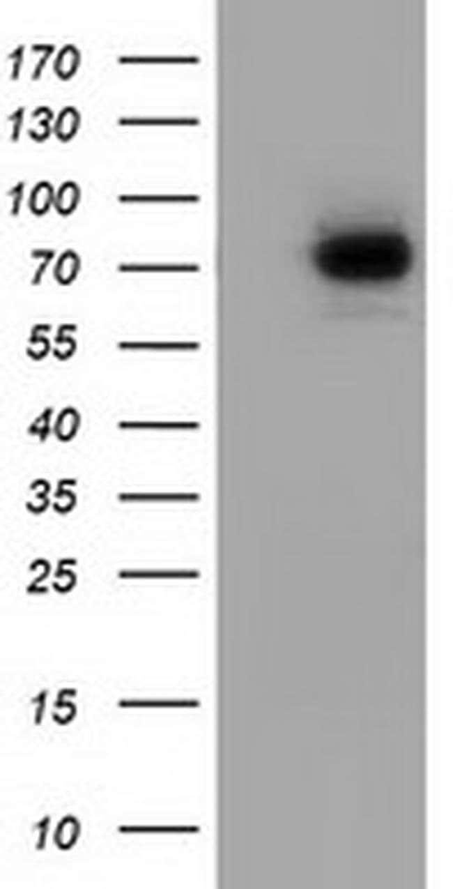 SAMHD1 Mouse anti-Human, Clone: OTI1F6, liquid, TrueMAB  100 µL; Unconjugated