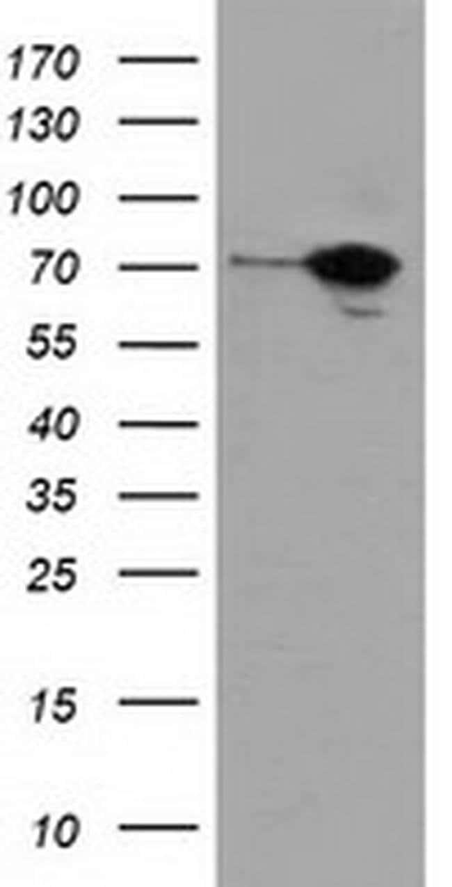 SAMHD1 Mouse anti-Human, Clone: OTI2D7, liquid, TrueMAB  100 µL; Unconjugated