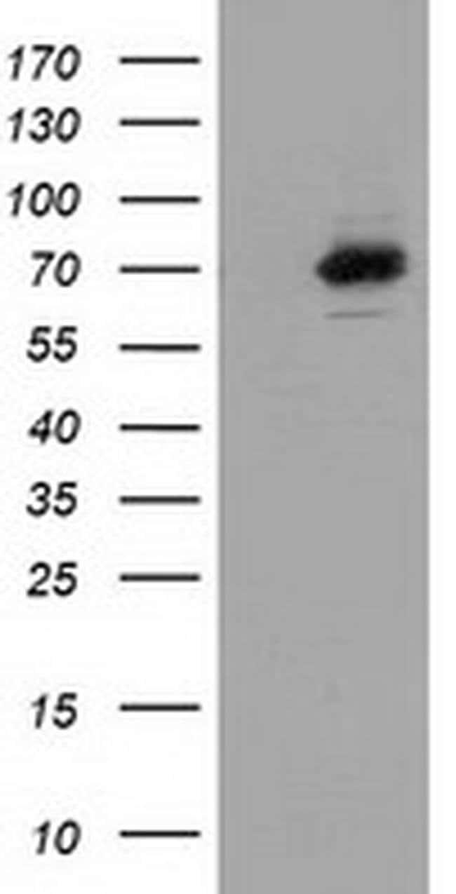 SAMHD1 Mouse anti-Human, Clone: OTI3G6, liquid, TrueMAB  100 µL; Unconjugated