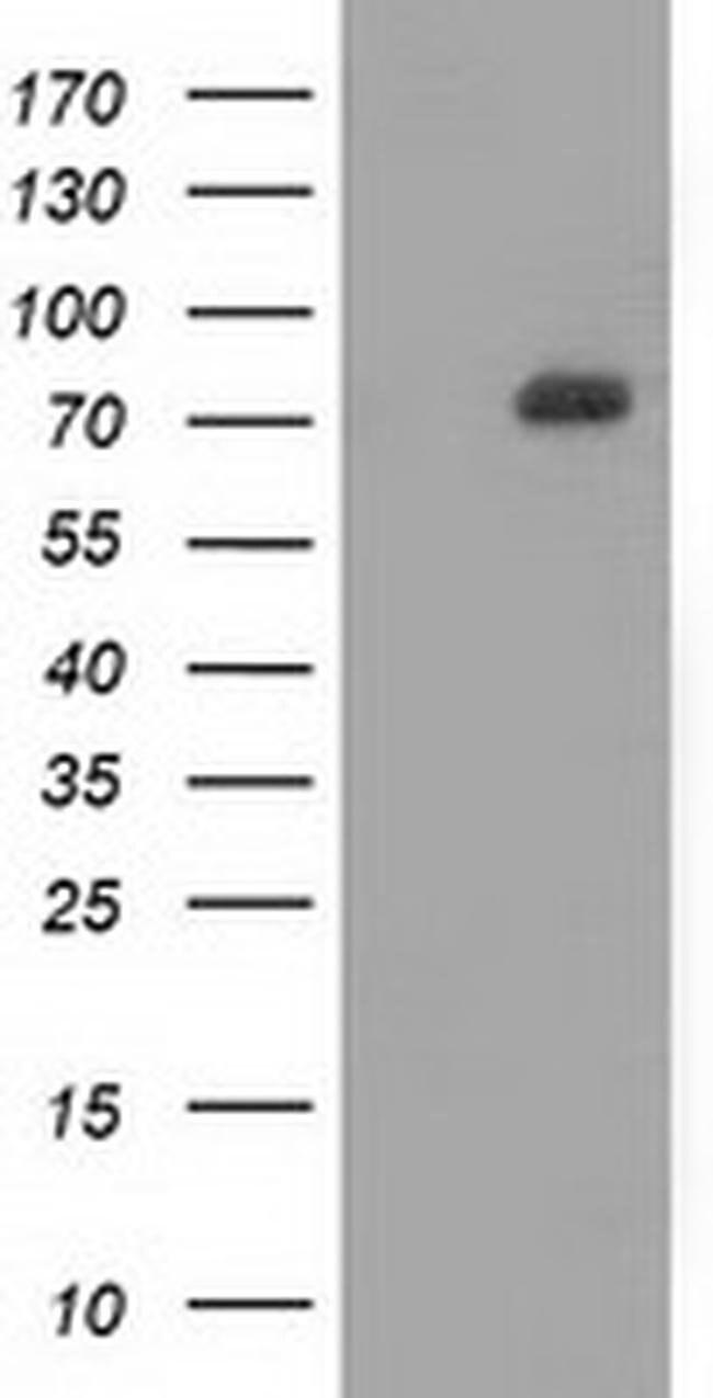 SAMHD1 Mouse anti-Human, Clone: OTI3B9, liquid, TrueMAB  100 µL; Unconjugated