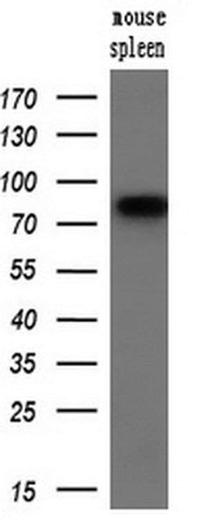 SAMHD1 Mouse anti-Canine, Human, Mouse, Rat, Clone: OTI1A1, liquid, TrueMAB