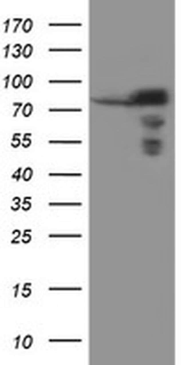SCFD1 Mouse anti-Canine, Human, Mouse, Rat, Clone: OTI1E2, liquid, TrueMAB