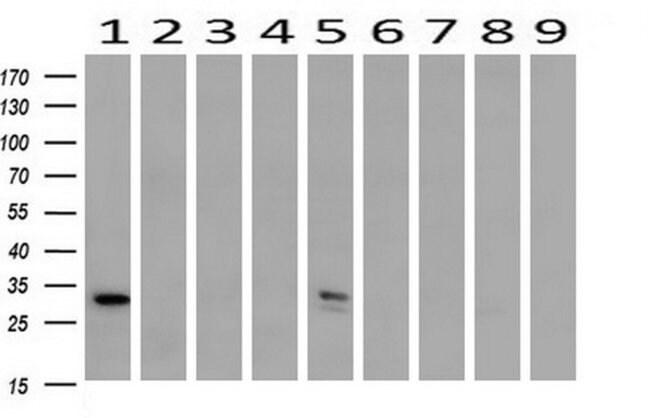 SDCBP Mouse anti-Human, Clone: OTI2H6, liquid, TrueMAB  100 µL; Unconjugated