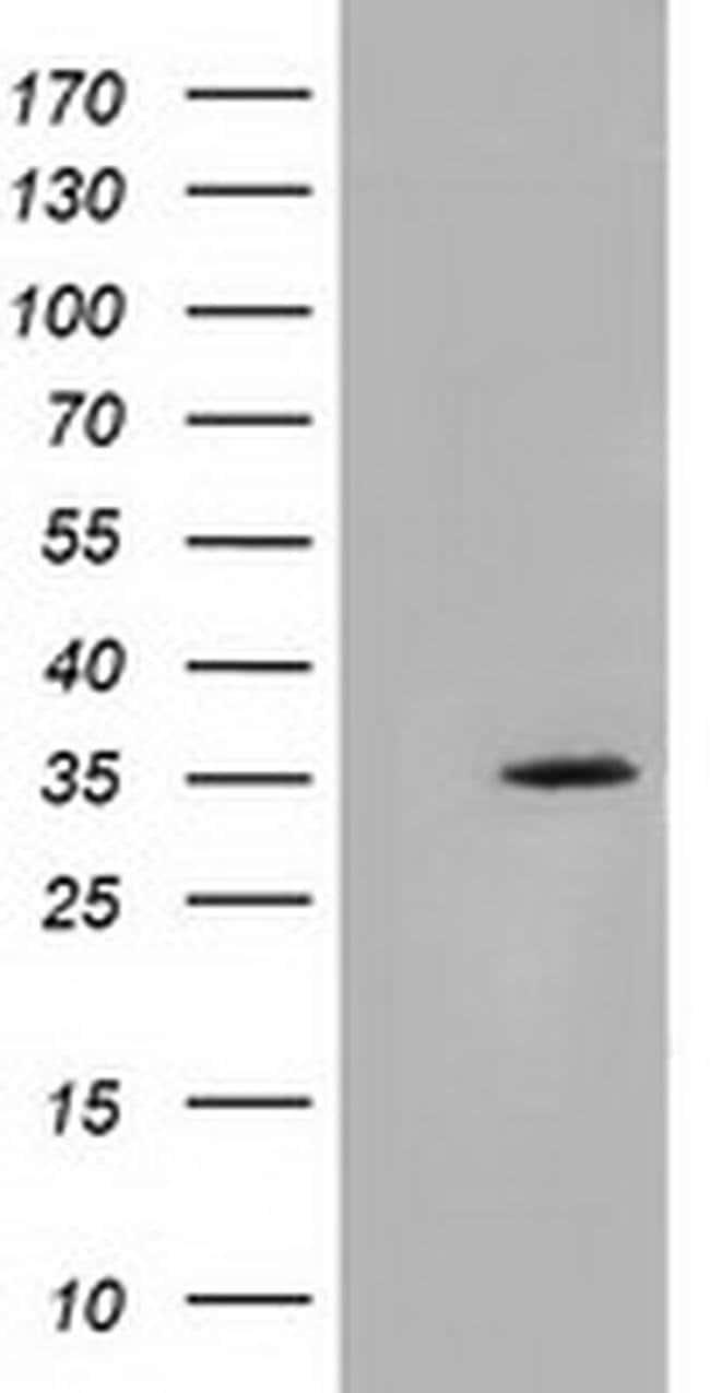 SDR9C7 Mouse anti-Human, Clone: OTI4B5, liquid, TrueMAB  100 µL; Unconjugated
