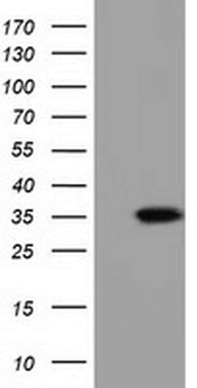 SDR9C7 Mouse anti-Human, Clone: OTI3E4, liquid, TrueMAB  100 µL; Unconjugated