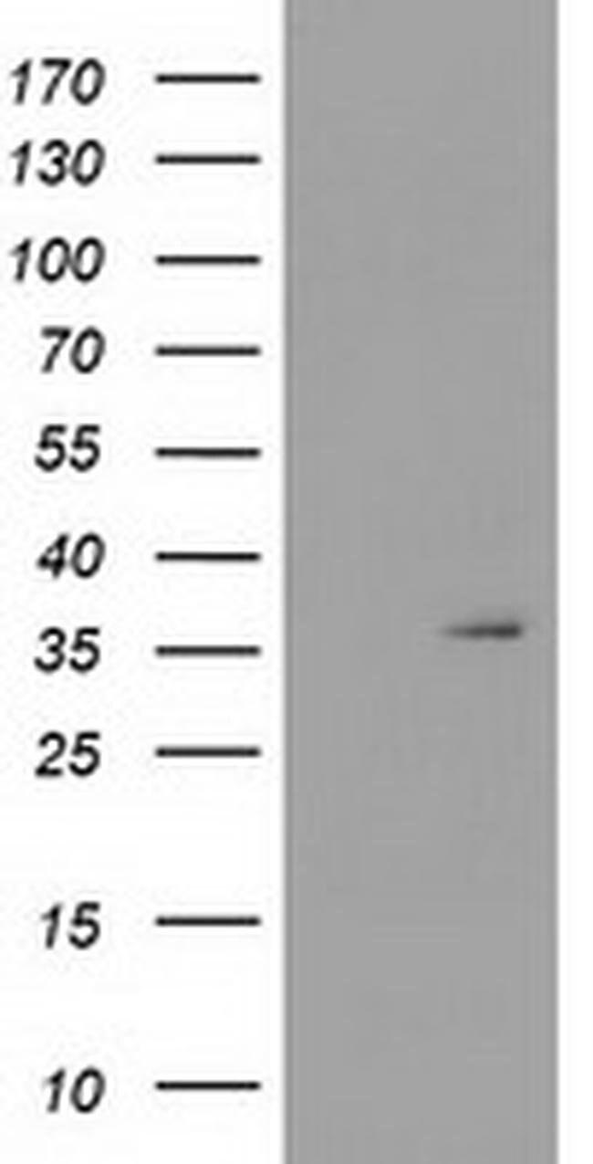 SDR9C7 Mouse anti-Human, Clone: OTI4H9, liquid, TrueMAB  100 µL; Unconjugated