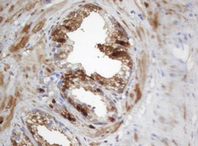 SELENBP1 Mouse anti-Human, Clone: OTI3C6, liquid, TrueMAB  100 µL;