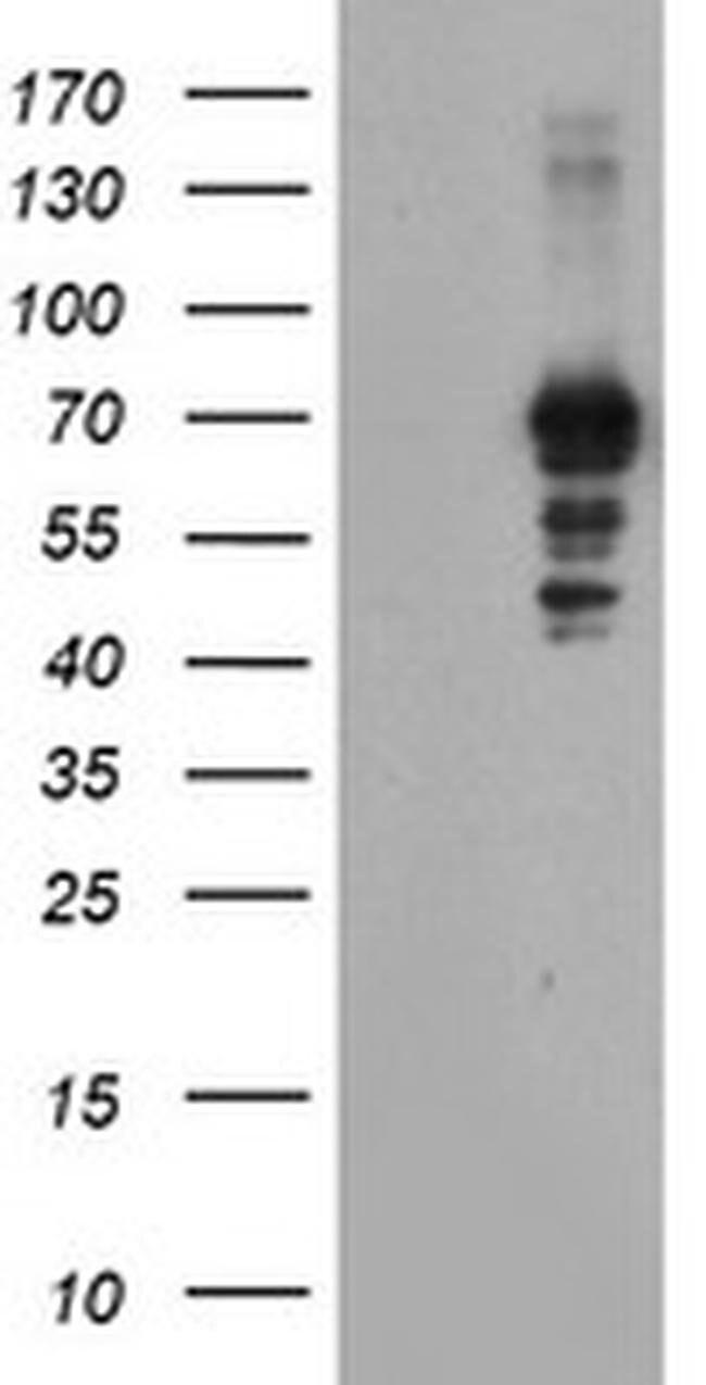 SENP2 Mouse anti-Human, Clone: OTI1C4, liquid, TrueMAB  100 µL; Unconjugated