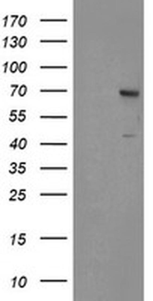 SENP2 Mouse anti-Human, Clone: OTI1H2, liquid, TrueMAB  100 µL; Unconjugated