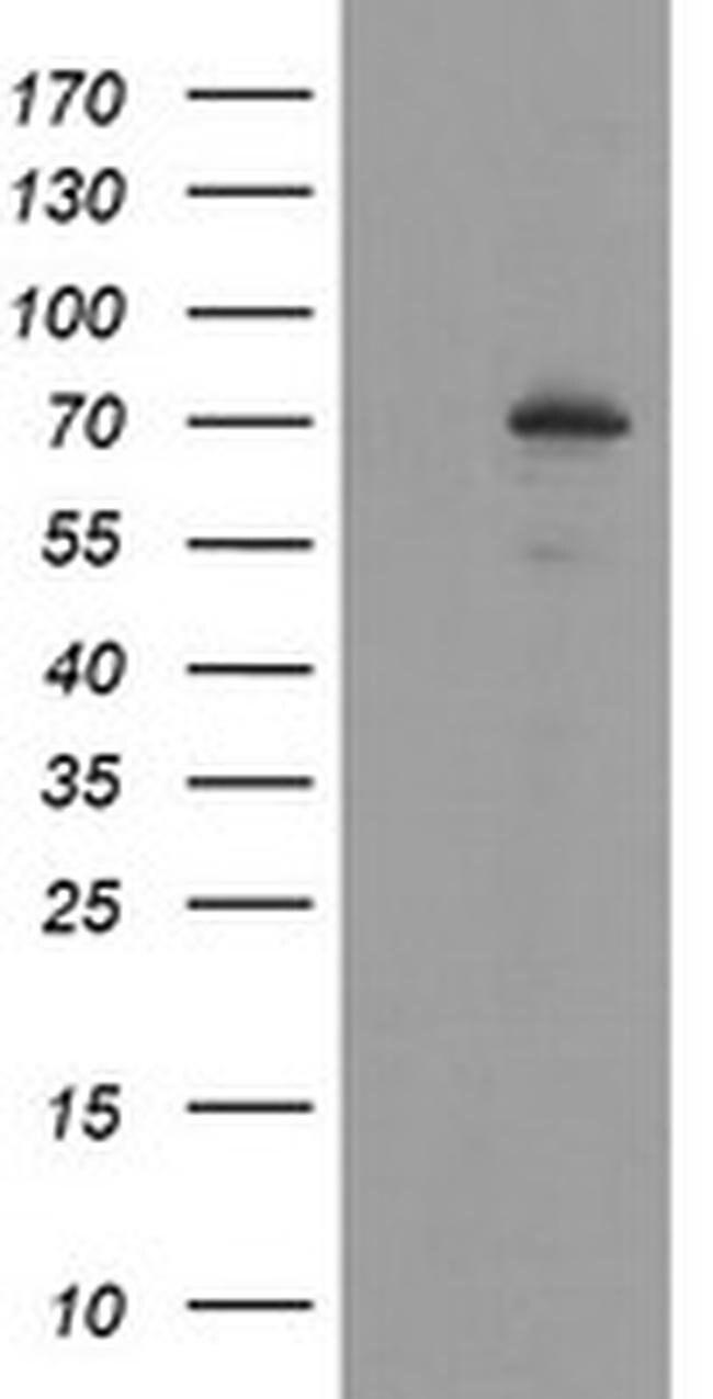SENP2 Mouse anti-Human, Clone: OTI3H10, liquid, TrueMAB  100 µL; Unconjugated