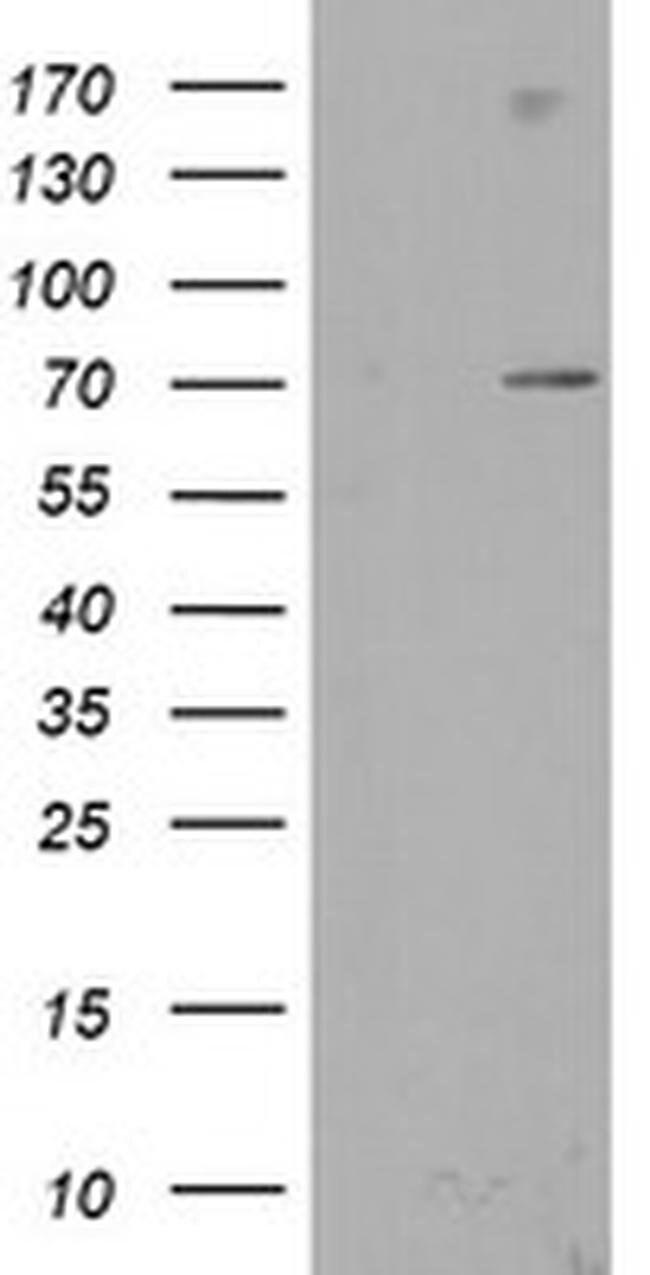SENP2 Mouse anti-Human, Clone: OTI3F5, liquid, TrueMAB  100 µL; Unconjugated
