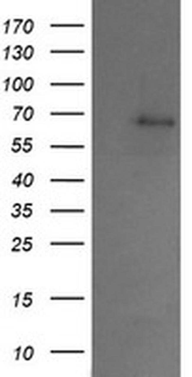 SENP2 Mouse anti-Canine, Human, Rat, Clone: OTI4B3, liquid, TrueMAB  100