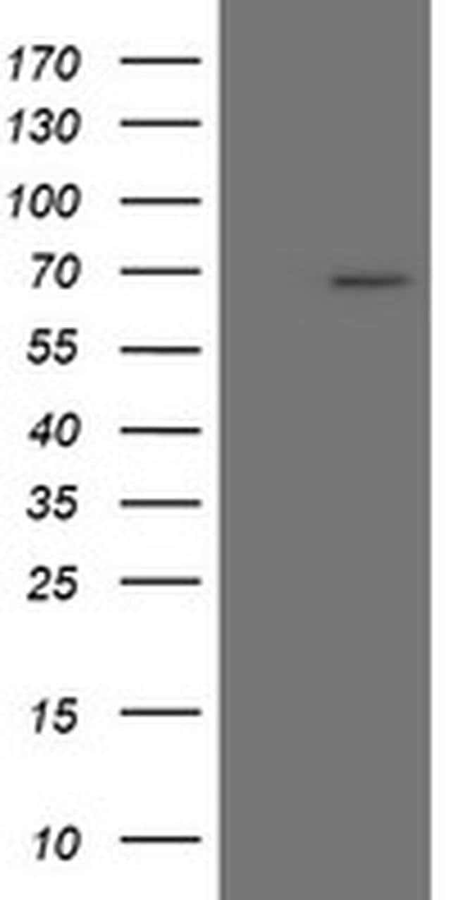 SENP2 Mouse anti-Human, Clone: OTI1H1, liquid, TrueMAB  100 µL; Unconjugated