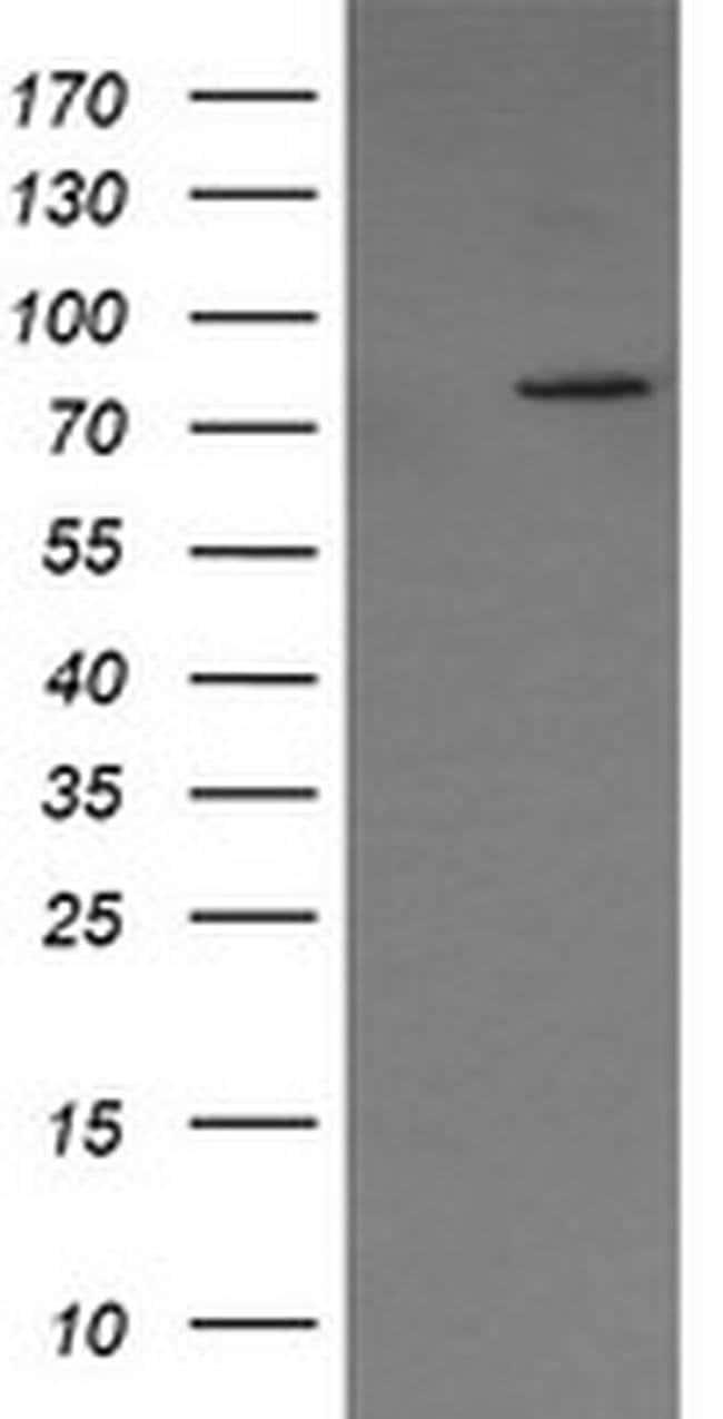 SESTD1 Mouse anti-Human, Mouse, Clone: OTI4B10, liquid, TrueMAB  100 µL;